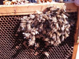 Small cluster of bees dead on a frame.