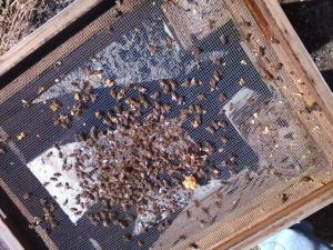 Honey bees dead on bottom of hive.