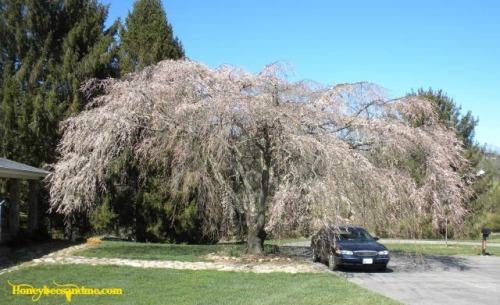 Weeping Cherry Tree It's Been 331 Days Blog